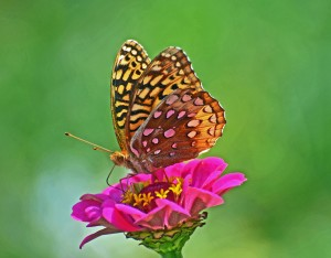 Great Spangled Fritillary on a Zinnia